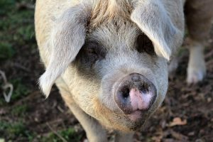 Люди, рожденные в год Свиньи: характер, знаменитости, любовный гороскоп