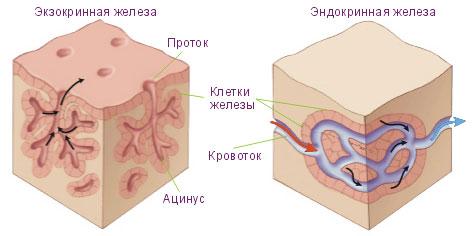 Эндокринная теория
