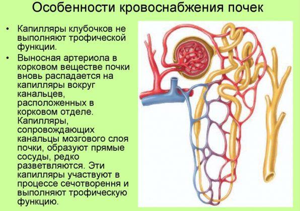 Особенности кровоснажения почек