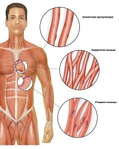 гладкая мускулатура