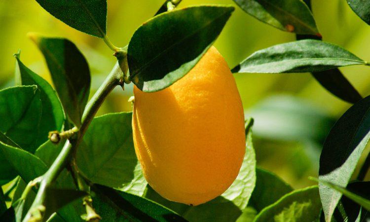 Кумкват: полезные свойства и возможный вред