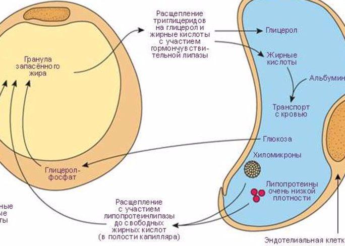 Стимуляция расщепления гликогена и жировых клеток