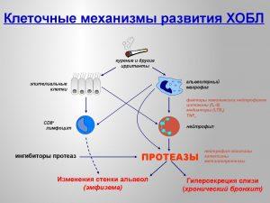 Клеточные механизмы развития ХОБЛ