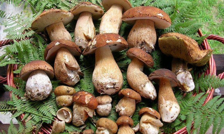 Белые грибы: польза и вред для организма, калорийность