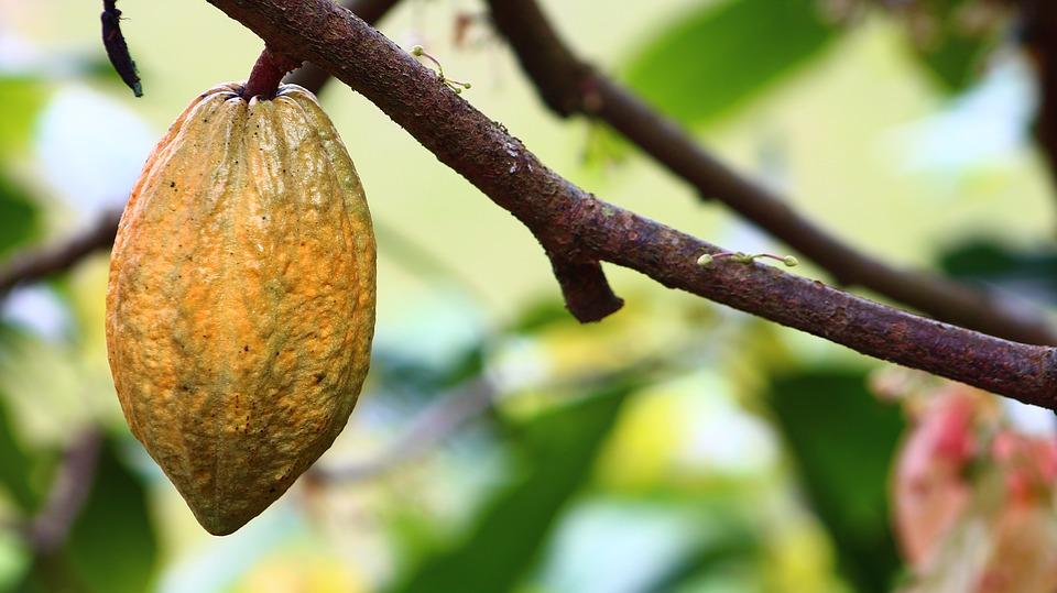Масло какао: свойства, применение в косметологии и медицине, рецепты