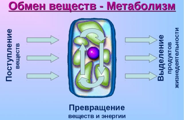Улучшается метаболизм