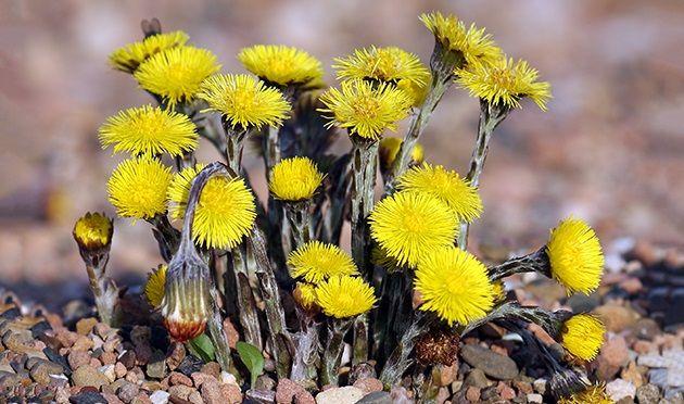 Сбор лекарственной травы происходит в начале весны