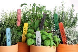 Выращивание дома базилика, тимьяна или эстрагона способствует распространению в помещении фитонцидов круглый год