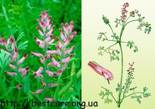 В качестве лекарственного сырья используется надземная часть растения, собранная во время цветения[