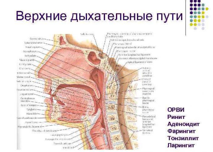 Болезни верхних дыхательных путей