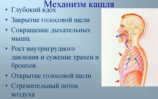 Механизм кашля